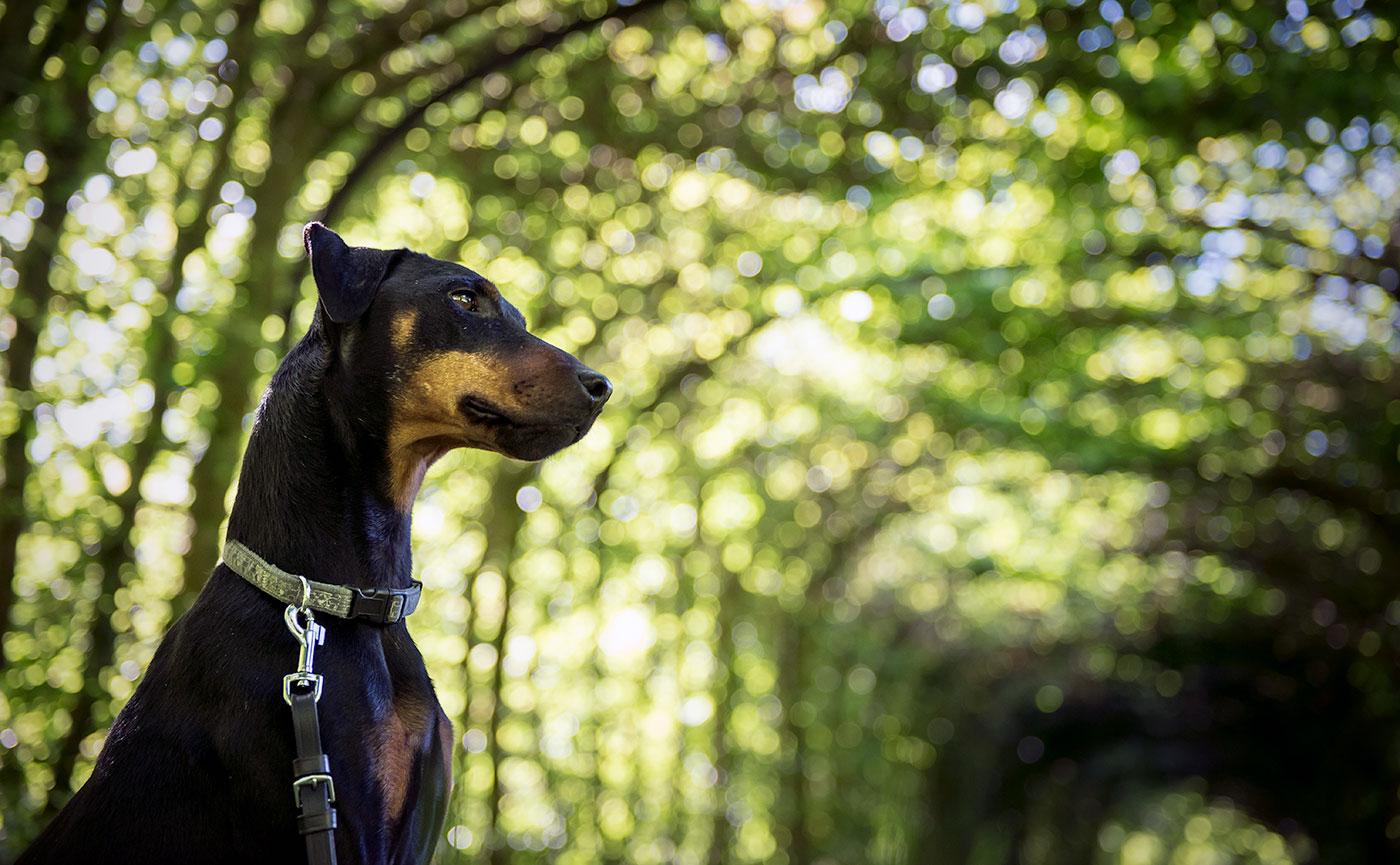 Ike im Weißhauswald Trier - Hundefotografie